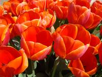 ORANGE Tulip Garden Tulips Flowers art prints Spri