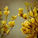 """magnolias"" by IrisLehnhardt"