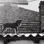 """Dog on Roof"" by perovict"