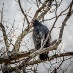 """Turkey Vulture"" by WildAboutNaturePhotography"