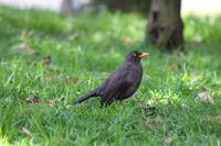 Attentive Blackbird