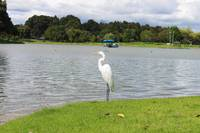 Great Egret on Lake