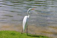 Great Egret on Lake II