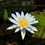 """Tropical Waterlilies and Blue Dragonfly"" by LightHeart"