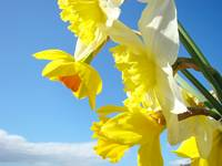Spring Daffodils Flowers art prints Blue Sky