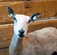 Sheep-Asks-What-are-You-Looking-At