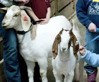 Goats-as-Family-Pets
