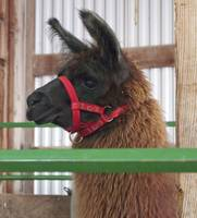 C:\fakepath\Llama-at-Attention