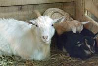 Mom-Goat-relaxing-at-home