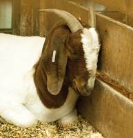 Sweet-Dreaming-Goat