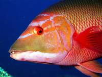 Hogfish CloseUp