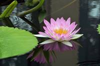 Waterlily Echoes echoes
