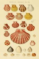 Vintage Seashell Drawings
