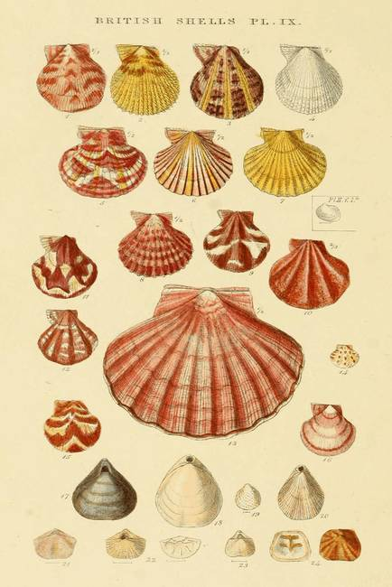 """Ocean Shells Drawing Vintage Seashell Drawings """""""