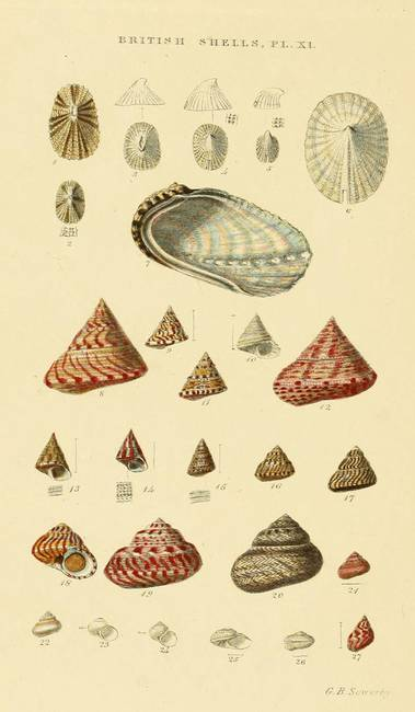 Vintage Shell Drawings...