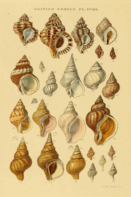 Vintage Snail Shell Dr...