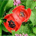 """P13-15RA Red Tulip Pair"" by raBHA2014"
