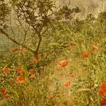 """Poppies On High Hillside"" by RickTodaro"