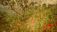 Poppies On High Hillside