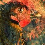 """P14-08RA Chicken Eye"" by raBHA2014"