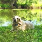 """Yellow Lab by Lake"" by susansartgallery"