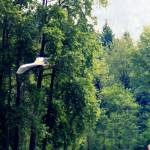 """""""Great Blue Heron Flying Past the Trees Above Troja"""" by dlmtleArt"""