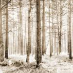 """Sunlit Hazy Forest Trees in Neutral Colors"" by NatalieKinnear"