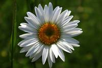 Beautiful Daisy