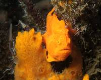 Find the Fish: Orange Frogfish on Sponge