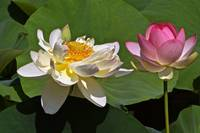 Lotus Pink -- Lotus White And Gold