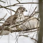 """Hawk in the Snow"" by WildAboutNaturePhotography"
