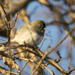 """Dark-eyed Junco"" by WildAboutNaturePhotography"