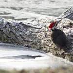 """""""Pileated Woodpecker"""" by WildAboutNaturePhotography"""
