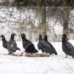 """Black Vultures"" by WildAboutNaturePhotography"