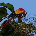 """scarlet macaw feeding"" by puravidaviews"