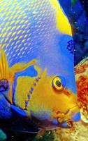 Queen Angelfish Eye