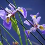 """""""Blue Flag Iris"""" by dansmith"""