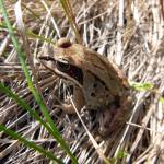 """Wood Frog"" by dansmith"