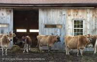 Cows leaving the barn