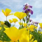 """Poppies Flower Meadow art prints Blue Sky Clouds"" by BasleeTroutman"
