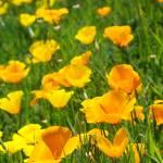 """""""Poppy Flower Green Summer Meadow Art Print"""" by BasleeTroutman"""