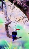 Passarinha = Grey-headed Kingfisher (Halcyon leuco