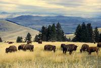 National Parks Bison Herd