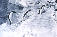 Penguins Jumping onto Land