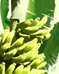 Banana Tree by spadecaller