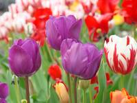 Tulip Flowers Meadow Art Prints Purple Tulips