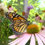 """Monarch Butterfly Art Prints Pink Cone Flower"" by BasleeTroutman"