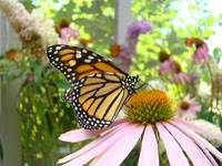 Monarch Butterfly Art Prints Pink Cone Flower