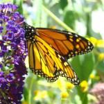 """""""Orange Monarch Butterfly Sunlit Wings Art Prints"""" by BasleeTroutman"""