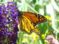 Orange Monarch Butterfly Sunlit Wings Art Prints